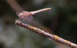 Libelula balanced on dry branch Stock Photo