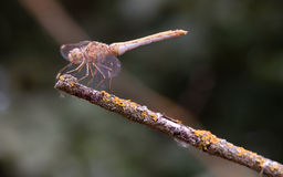 Libelula balancierte auf trockener Niederlassung Stockfoto