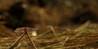 Libelzitting op gras en klaar te vliegen Stock Foto's