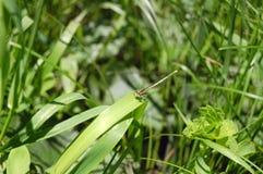 libelzitting op groen gras macroschot Stock Afbeelding