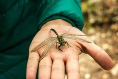 Libelzitting op zijn dichte vinger Groen stock afbeeldingen