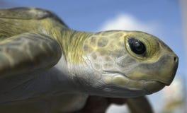 Liberação da tartaruga Fotografia de Stock