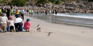Liberação do pinguim da WWF, Nova Zelândia. Fotos de Stock Royalty Free