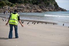 Liberação do pinguim da WWF, Nova Zelândia. Foto de Stock