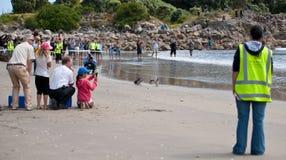 Liberação do pinguim da WWF, Nova Zelândia. Imagens de Stock Royalty Free