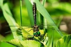 libera Racchetta-munito di Dorocordulia - di Emerald Dragonfly Fotografia Stock Libera da Diritti