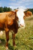 Liberamente pascere mucca domestica e sana Fotografia Stock Libera da Diritti