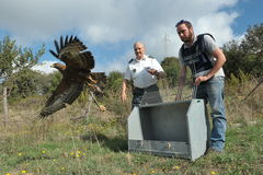 LIBERATION EAGLE. Gamekeepers release a wounded bird of prey stock photo