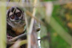 Liberdade da árvore do macaque do sagui de Mico imagem de stock