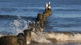 A liberdade de gaivota da vida relaxa e toma sol no disjuntor de onda de madeira foto de stock