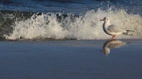 A liberdade de gaivota da vida uma relaxa no beira-mar Báltico fotos de stock