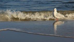 A liberdade de gaivota da vida uma relaxa no Seacoast Báltico fotografia de stock royalty free