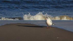 A liberdade de viver uma gaivota relaxa no beira-mar Báltico imagem de stock