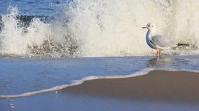 A liberdade de viver uma gaivota relaxa no beira-mar Báltico fotografia de stock