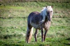 Liberi il cavallo in Islanda quella vite libere Fotografia Stock