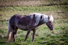 Liberi il cavallo in Islanda quella vite libere Fotografia Stock Libera da Diritti