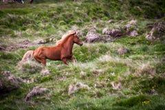 Liberi il cavallo in Islanda quella vite libere Fotografie Stock