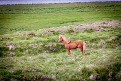 Liberi il cavallo in Islanda quella vite libere Immagini Stock