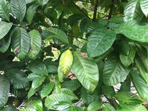 Liberian coffee tree. With fruit and leaf from Angola Africa Stock Photos