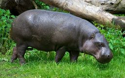 Liberian Hippo. Walking in the grass Royalty Free Stock Photos