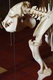Liberian hippo 2 Royalty Free Stock Image