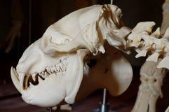 Liberian hippo skull Royalty Free Stock Photos