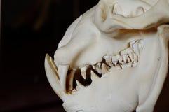 Liberian hippo skull details Stock Photos