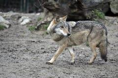 Libertà del lupo Fotografie Stock Libere da Diritti