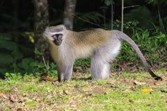 Libertà vivente della scimmia del velluto nel selvaggio nel Sudafrica Immagini Stock Libere da Diritti