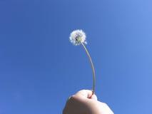 Liberté humaine - graines de pissenlit sur le ciel bleu Photographie stock libre de droits