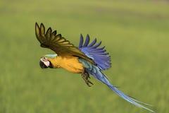 Libertad agradable del vuelo del pájaro en naturaleza Foto de archivo