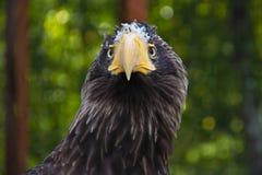 Libertad de águila Foto de archivo libre de regalías