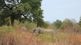 Libertad de elefante salvaje africano de la vida imagen de archivo