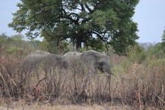 Libertad de elefantes salvajes africanos del colmillo largo de la vida foto de archivo