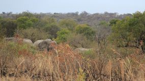 Libertad de elefantes salvajes africanos de la vida fotografía de archivo