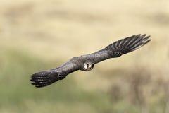Libertad del vuelo del halcón de la migración en naturaleza Fotografía de archivo