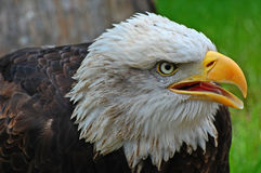 Liberty bald eagle. Close-up portrait of a young american bald eagle in profile with beak open calling royalty free stock images