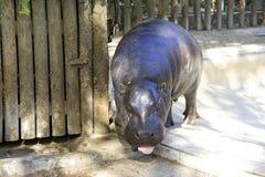 Liberyjscy pigmejowi hipopotamowi chrap fangs rezerwują Afryka Obraz Royalty Free