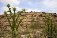 Libische Cactus Stock Afbeelding