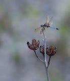 Libélula azul de Dasher Fotos de archivo libres de regalías