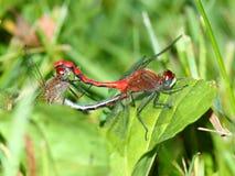 libélula Branco-enfrentada de Meadowhawk Foto de Stock Royalty Free