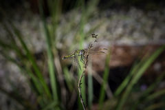 Libélula en tallo de flor Foto de archivo libre de regalías