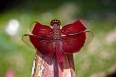 Libélula roja Imagen de archivo libre de regalías