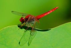 Libélula roja Imagenes de archivo