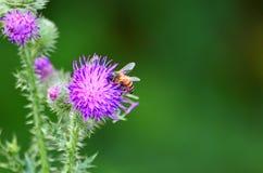 Libración-mosca en la flor delgada del cardo Imagen de archivo