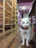 Librarian cat. White Cat in bookshop stock images