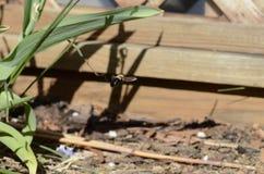 Librarsi dell'ape di carpentiere Immagine Stock