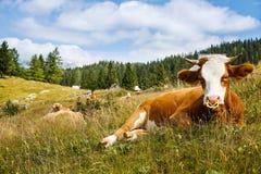 Libremente pasto de vacas nacionales y sanas Imagen de archivo libre de regalías