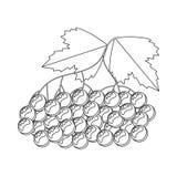 Libro de colorear para los niños Ilustración del vector berrie del viburnum Imagen de archivo libre de regalías
