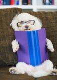 Libro di lettura del cane Immagine Stock Libera da Diritti
